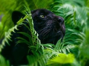 Pantera negra entre el follaje verde