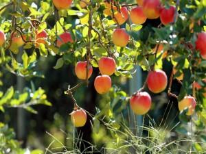 Exquisitas manzanas en el árbol