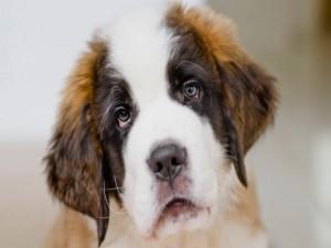Un cachorro de San Bernardo