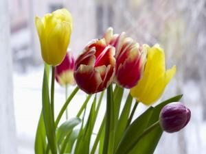 Tulipanes cerca de la ventana