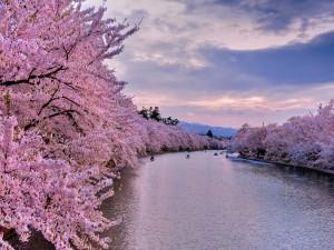 Cerezos en flor a lo largo del río