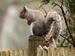 Ardillas sobre una valla de madera