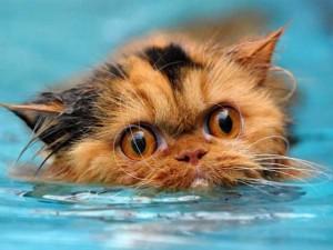 Gato asustado nadando en el agua