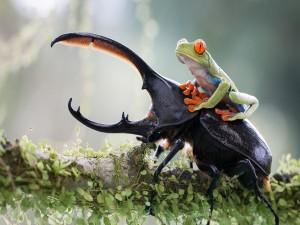 Rana sentada sobre un escarabajo