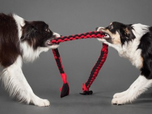 Dos  perros tirando de una cuerda