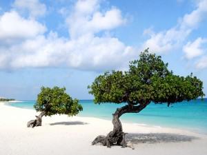 Árboles Divi en la isla de Aruba