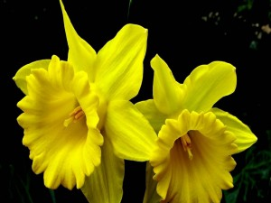 Bonito narcisos amarillos