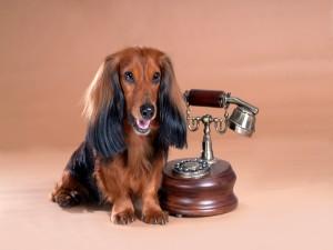 Encantador perro junto a un antiguo teléfono