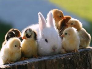 Conejo blanco junto a unos pollitos