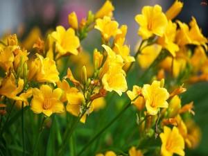Lirios amarillos en primavera