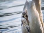 Polluelos de cisne al cuidado de su mamá