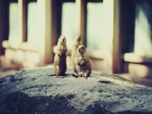 Perritos de las praderas sobre una roca