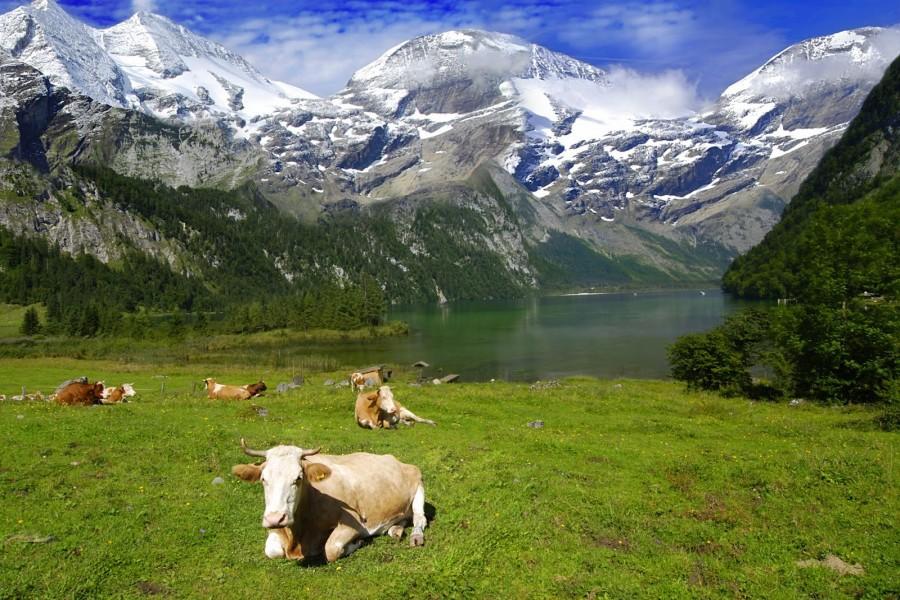 Paisaje alpino con vacas tumbadas en el pasto
