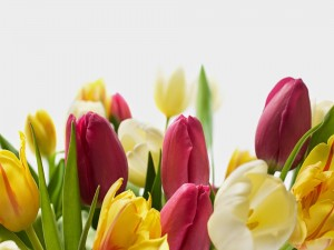 Maravillosos tulipanes
