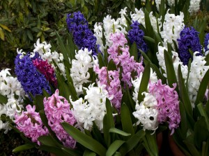 Coloridos jacintos en el jardín