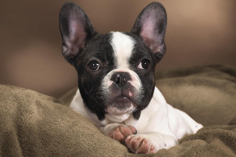 Bulldog francés en una cama