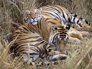 Dos tigres de bengala tumbados