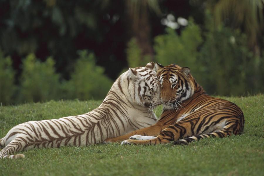 Dos tigres enamorados
