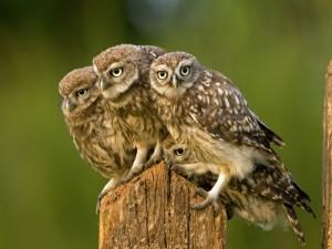 Jóvenes búhos sobre un tronco