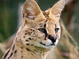 La cabeza de un serval