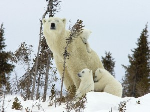 Osa polar con sus cachorros