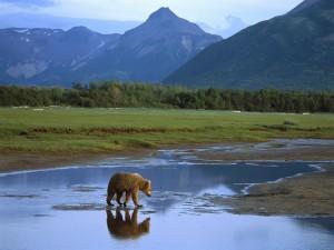 Oso cruzando un río (Alaska)