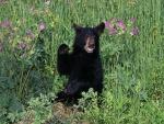 Pequeño oso negro sentado entre las flores silvestres