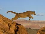 Puma saltando entre montañas