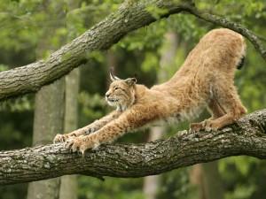 Lince europeo en la rama de un árbol