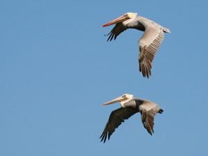 Pelícanos volando en un límpido cielo celeste