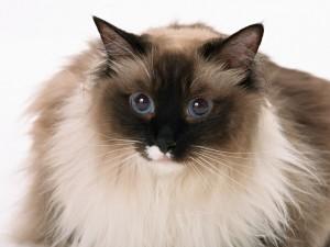 Un gato muy peludo
