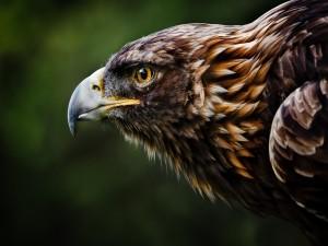 Perfil de un águila