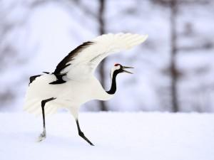 Garza buscando comida en la nieve
