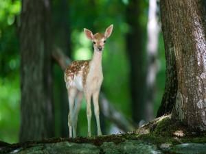 Un ciervo entre los árboles del bosque