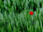 Solitaria amapola roja entre la hierba verde