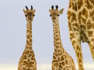 Dos jirafas recién nacidas