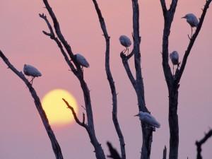 Garzas posadas en el árbol a la entrada del sol