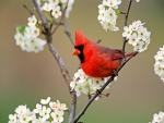 Cardenal entre las flores de un peral