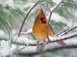 Cardenal hembra en un pino cubierto de nieve