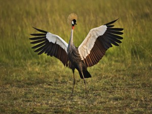 Grulla coronada africana con las alas extendidas