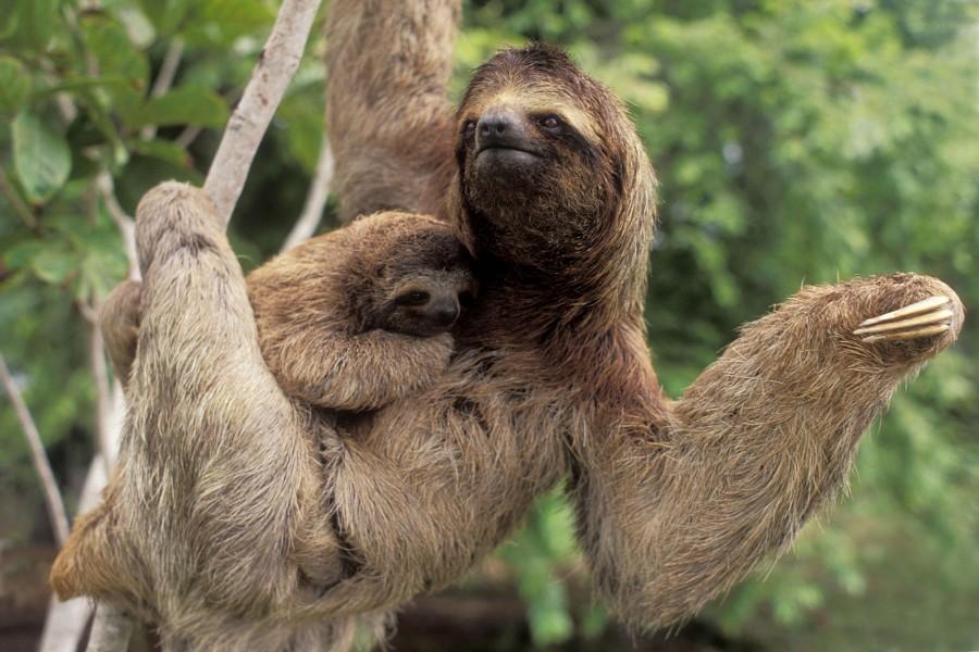 Perezoso con su bebé en la rama del árbol