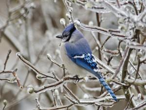 Arrendajo azul sobre unas ramas congeladas