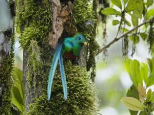 Quetzal en el hueco de un tronco de árbol