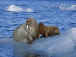 Morsas sobre un bloque de hielo