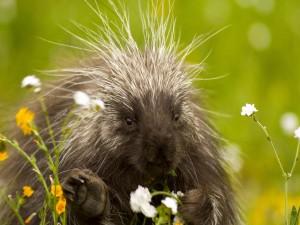 Puercoespín entre flores silvestres