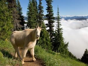 Cabra de montaña en el Parque Nacional Olympic