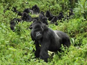 Gorilas de montaña en el Parque Nacional de los Volcanes (Ruanda)