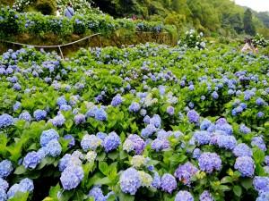 Personas entre las hortensias en flor
