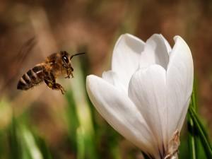 Abeja revoloteando sobre una flor blanca