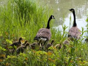 Gansos con sus polluelos en el estanque